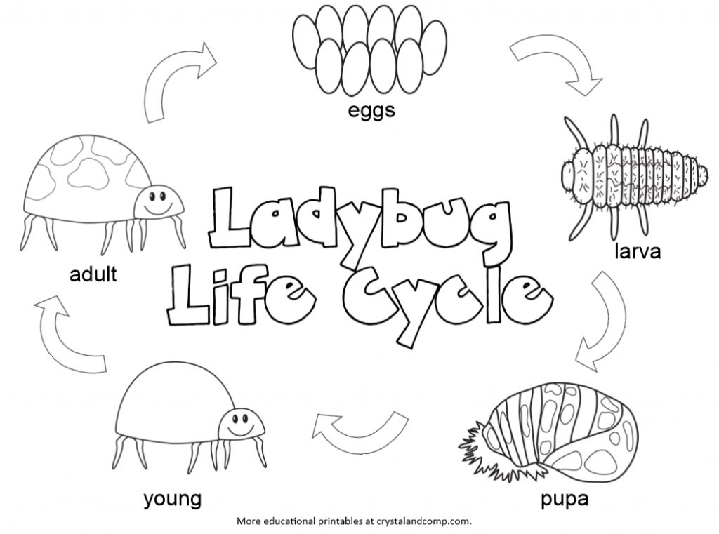 life cycle of a lady bug color pages for kids